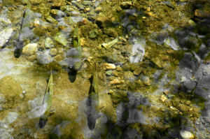 Brook Trout In South Toe River